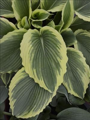 "Introduced 2012 - ""Bridal Falls"" Hosta.  This large Hosta forms an attractively rounded mound of cascading green leaves with pale yellow to creamy white margins.  The heart-shaped leaves are edged in pretty pie crust waves and have deeply impressed veins.  Light lavender flowers appear in midsummer.  Grows to 28 inches hight in part to full shade.  Hardy in zones 3-9."