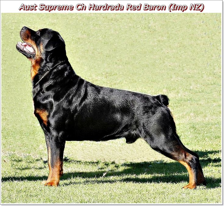 Australian Sup Ch Hardrada Red Baron (Imp NZ)