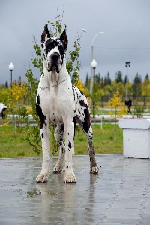 48. Gran Danés   Pertenece al grupo de Perros de trabajo. Altura promedio: 71.1 a 86.4 cm al hombro. Peso promedio: 45.3 a 90.7 kg.
