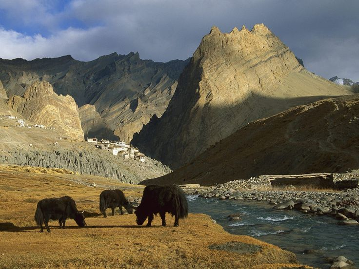 Grazing Yaks near Photoskar Village Ladakh, India http://www.thrillophilia.com/ladakh.php