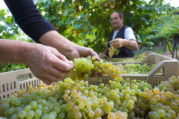 garganega grapes