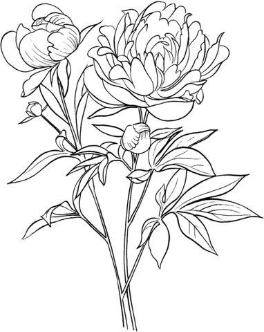 Peonía Officinalis o Peonía Europea Común Dibujo para colorear