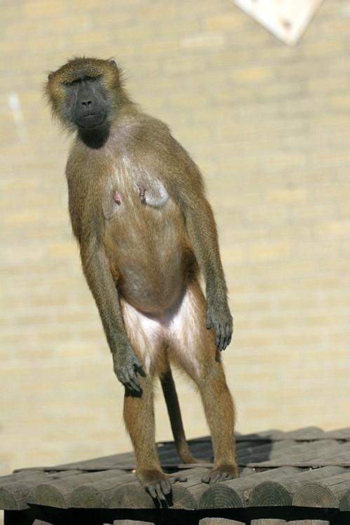 Edinburgh Zoo's Barbary Macaque