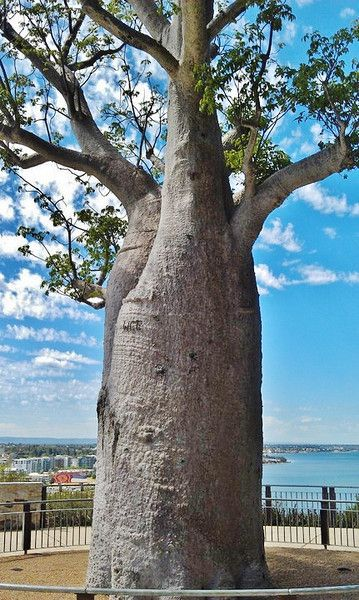 #AustraliaItsBig - A beautiful boab tree in the heart of Perth.