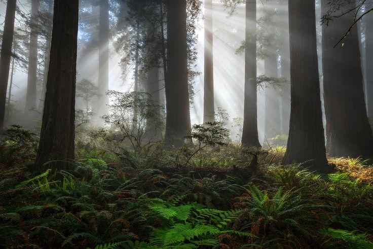 """Still Beaming"" by David Thompson            Felt like posting a forest scene this afternoon.  It's a place that I'm missing right about now.  Sunlight penetrates through morning fog and forest canopy creating incredible light beams.  If you look in the center of the frame, you can see a spider web.            David Thompson: Photos                                 #nature #photography"