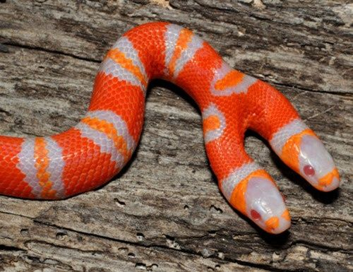 A two-headed albino Honduran milk snake is shown in Ridge Manor, Florida. Snake of this species are normally orange and black. Daniel Parker, a University of Central Florida biologist, says two-headed snakes have been documented to live as long as 20 years in captivity. But with two brains giving commands to a single body, Parker says the snake would have a difficult time surviving in the wild.