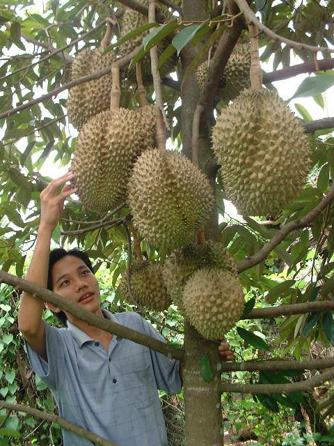 "Cay Xau Rieng - Durian.  Regarded by many people in southeast Asia as the ""king of fruits"", the durian is distinctive for its large size, strong odour, and formidable thorn-covered husk"