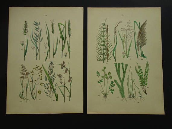 GRASSES old prints Botanical print set of GRASS pictures Two 2