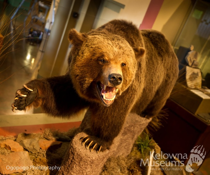 Ki-Low-Na is the syilx word for Grizzly Bear. This Grizzly Bear is located at the Okanagan Heritage Museum in Kelowna, BC