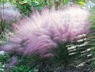 Sorghastrum nutansPink Muhly, Enormous Plume, Native Grass, Late Summer, Muhly Grass, Gardens, Elegant Bloom, Muhlenbergia Capillaries, Capillaries Pink