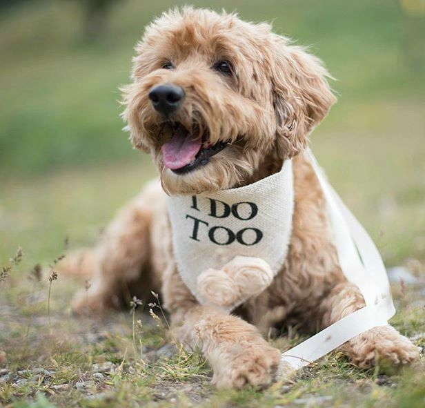 Include your dog in your special day with our Wedding Bandanas! Hello Hazel…