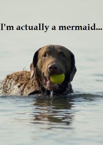 17 Best Images About Chesapeake Bay Retriever On Pinterest