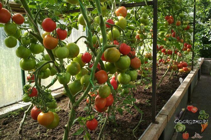 Подкормка помидоров в теплице – когда и как правильно удобрять томаты, во время цветения, плодоношения, используем народные средства, советы опытных дачников для большого урожая