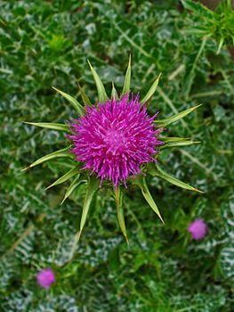 Milk Thistle Protects Cells FromToxic Chemotherapy Side Effects