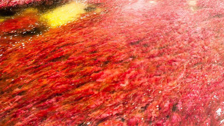 La belleza de Caño Cristales en el nuevo portal www.cano-cristales.com