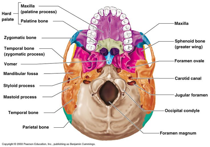skull anatomy, inferior view - Google Search | Nervous ...