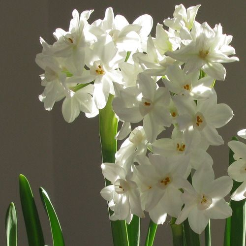 Pictures and Profiles of Great Container Plants and Flowers : Paperwhite Narcissus