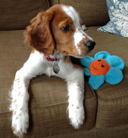 :)Spaniels Puppies, Pennies Lane, Welsh Springer, Future Puppies, Puppies Dogs, Friends Iv, Springer Spaniels, Friends Xx, Daily Puppies