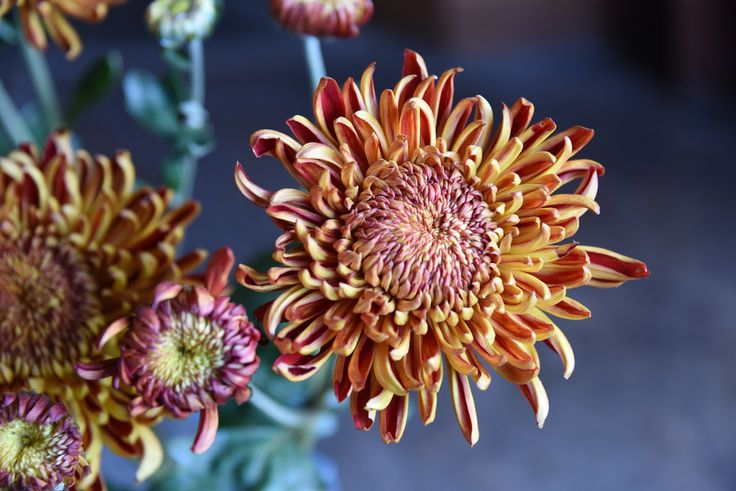 "Chrysanthemum ""Heather James"""