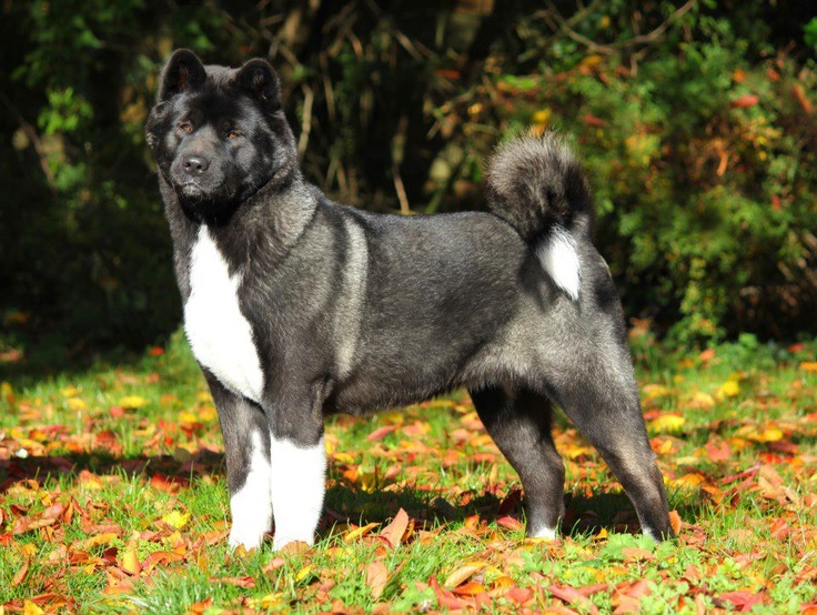 American Akita Dog Akita Animal Dog Breeds