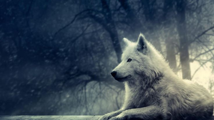 25+ Enchanting Wolf Pictures - Style Arena