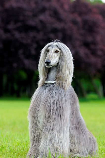 El Lebrel afgano es un perro de caza procedente de Afganistán. Tiene un pelaje característico, muy largo, fino y sedoso, que precisa de cuidados continuos ya que se enreda, llegando a perder su brillo.