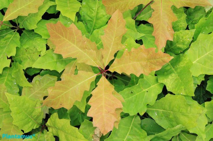 Quercus rubra. Roble americano. Carballo americano. http://www.plantamus.es/venta-de-arboles-plantacion-plantones