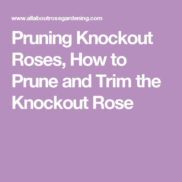 Pruning Knockout Roses, How to Prune and Trim the Knockout Rose
