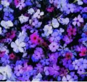 Viscaria mixed - Sow Late Spring & Early Summer - Annual 45cm