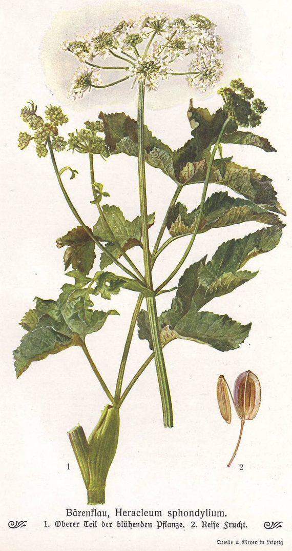 Hogweed original 1913 print  Botanical common by PaperThesaurus