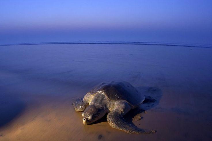 Tausende Oliv-Bastardschildkröten kommen derzeit an einem Strand an der...