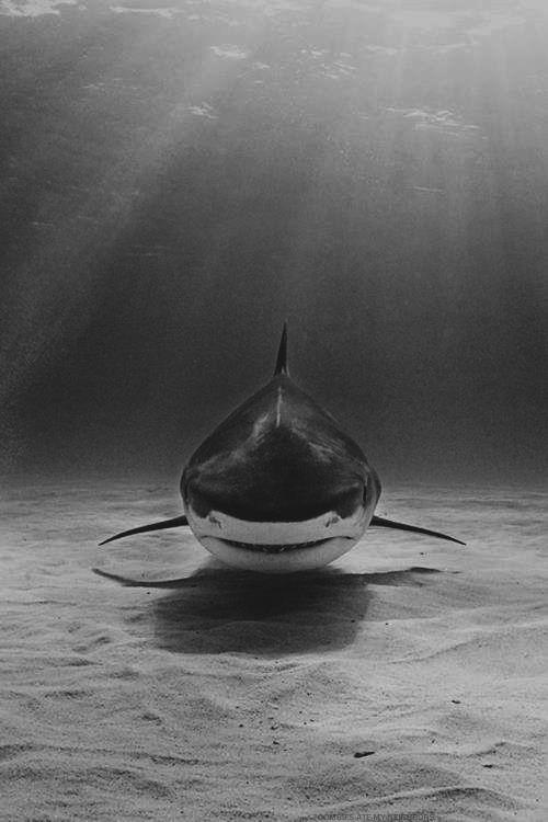 Weisser Hai. Zu unrecht verteufelt - so stark und stolz.