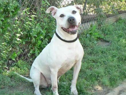 Conheça a raça American Staffordshire Terrier