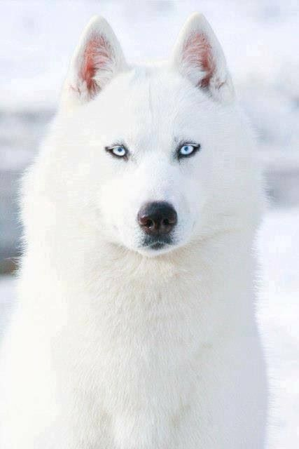 Cute white wolf pup with blue eyes - photo#18
