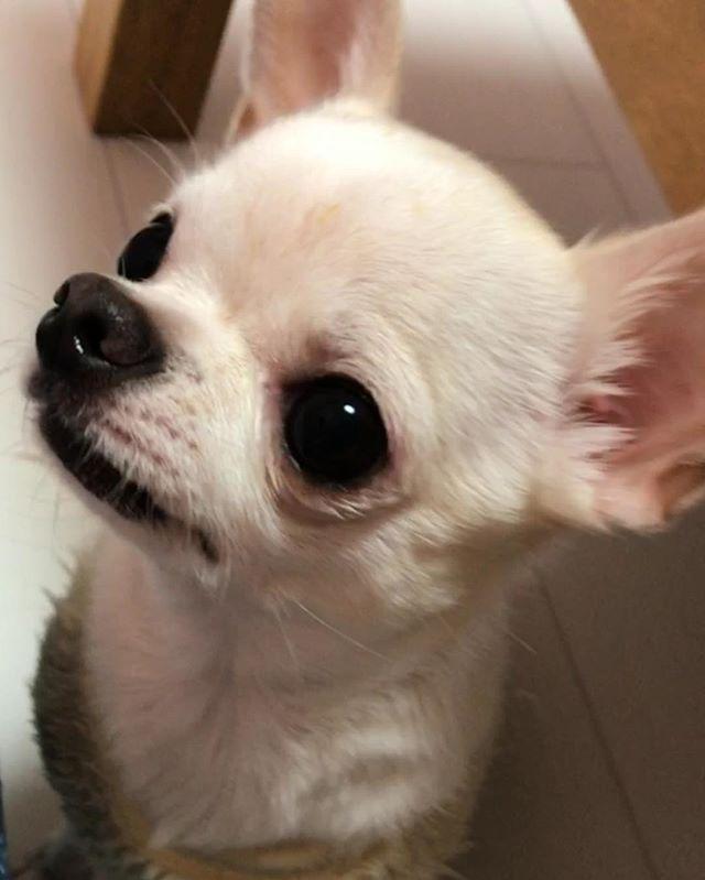 じょりー美人♡♡笑 #Chihuahua#chihuahualove#smoothChihuahua #chihuahuasofinstagram#dogstagram#dog #チワワ#スムースチワワ#スムチー#チワワ部 #犬#わんこ#愛犬#犬バカ#じょりー#美人犬