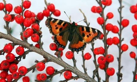 British wildlife - tortoiseshell butterfly