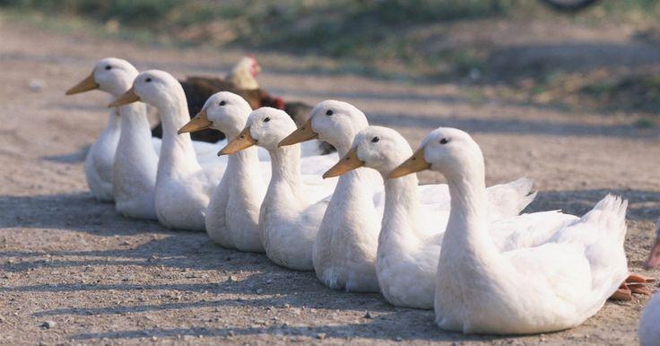 Cómo incubar huevos de pato pekinés. El pekinés es un tipo de raza de pato. Originario de China, es una de las razas de patos más ampliamente criadas en América del Norte, tanto por su carne como por sus huevos. Este pato tiene un plumaje blanco, un pico naranja-amarillo y alcanza un peso de hasta 11 libras (5 kg). Los entusiastas de aves de corral pueden comenzar su propio rebaño de ...