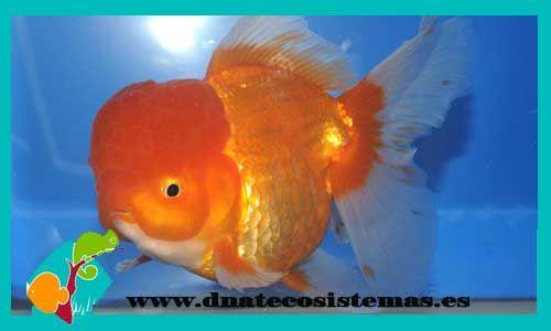 oranda-rojo-10-12-cm -tienda-online-peces-venta-de-peces-compra-de-peces-online-peces-baratos 5660ec603ba