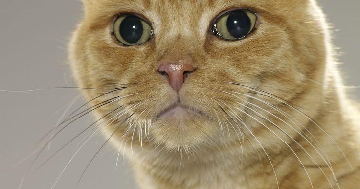 Vermes brancos pequenos na pelagem de gatos. Ao escovar a pelagem do gato com uma escova, você pode encontrar vermes brancos pequenos, principalmente em torno da área anal. Esses vermes indicam uma infecção por tênia, um tipo de parasita intestinal que um gato adquire da ingestão de uma pulga infectada. Se houver suspeita que o gato tenha uma infecção por tênia, leve-o a um veterinário para ...
