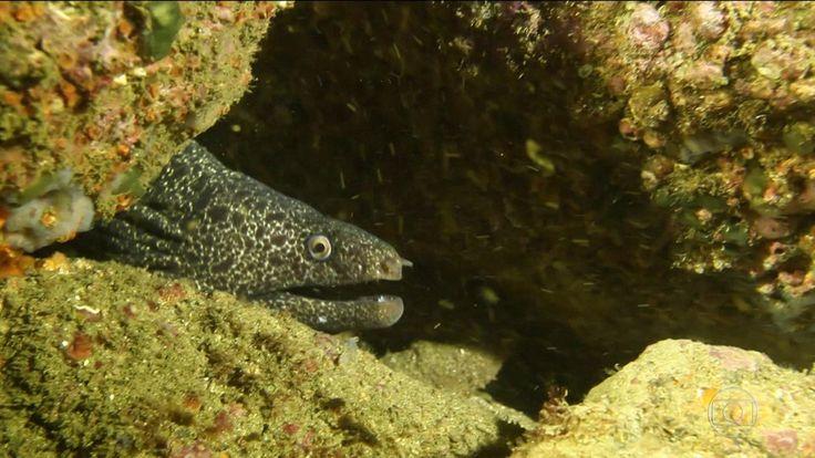 Biólogo marinho registra imagens de várias espécies que resistem, nas águas da Baía de Guanabara.