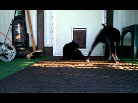 This Crazy Black Cat is far from being ready to let the Boston Terrier dog pass. http://www.bterrier.com/crazy-black-cat-will-not-let-the-dog-pass/  Like Boston Terrier Dogs Facebook page : http://www.facebook.com/bterrierdogs
