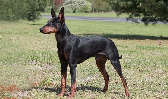 manchester terrier - Google Search