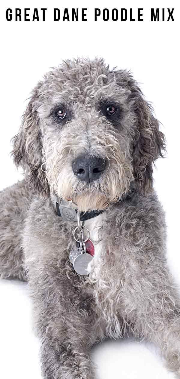Great Dane Poodle Mix An Extensive Guide To This Mix Poodle