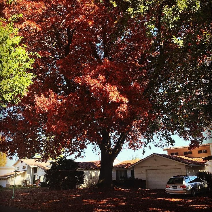As I was coming over the J Street Bridge just now I noticed a huge red tree towering above all the rest in #riverpark. I thought wonder who's Tree that is -  looks like it's very close to the house I grew up in on Sandburg Drive. I had the Lyft driver take me to check it out and WooHoo it's my house! #eastsacramento #cityoftrees #lifeisbeautifulinthepark #wrongsideofrhetracks #visitsacramento