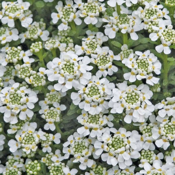 Iberis Sempervirens Evergreen Candytuft An Old Time Favorite Candytuft Is A Charming Plant For Drought Tolerant Perennials Hardy Perennials Plants