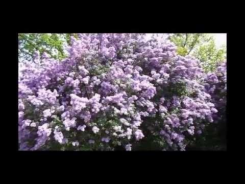 Сирень Syringa - красивое видео + рецепты здоровья