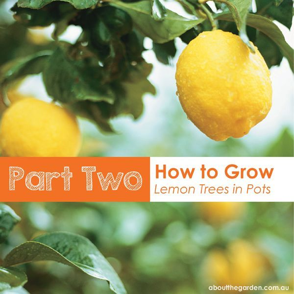How To Use Credit Card To Build Credit Red Girl Blog How To Grow Lemon Potted Trees Growing Lemon Trees