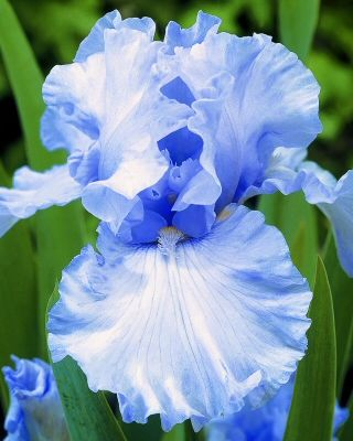 Iris 'Elizabeth of England'  --------------------Wow! What a beautiful blue color.  I love this color.""