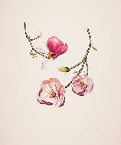 Magnolia × soulangiana 'Lennei'