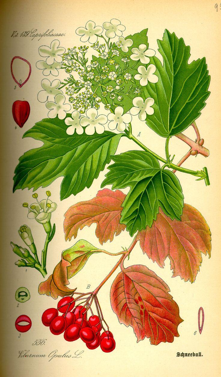 (Viburnum opulus) är en art i familjen desmeknoppsväxter